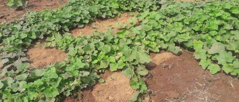 कोरोनाका कारण कृषि सहकारीको व्यवसाय धरापमा